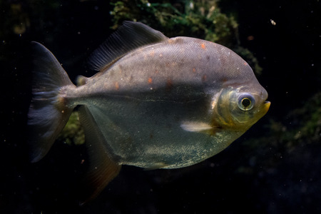 pacu: Redhook characin fish close up portrait undrwater view Stock Photo