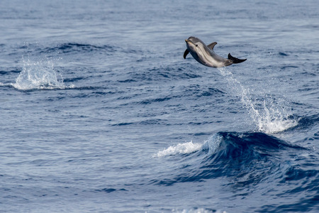 striped dolphin jumping outside the sea Imagens - 60883313
