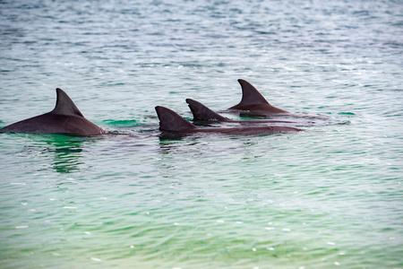 wild dolphins near the shore in Australia Monkey Mia beach