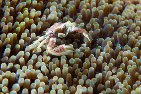 porcelain crab inside the anemone
