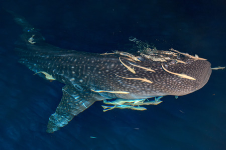 Whale Shark close up underwater with big enormous open mouth jaws at night in maldives under the boat