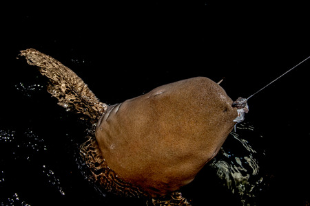 fished: Nurse Shark fished and hooked catch and realease close up on black background while diving in Maldives
