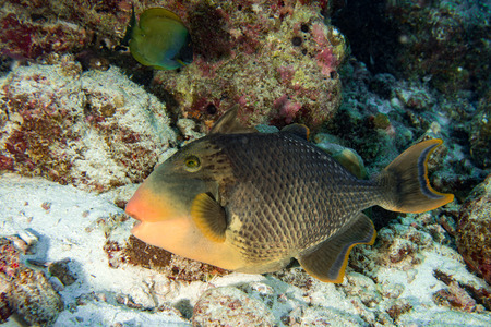 trigger fish: Trigger fish underwater close up portrait diving indonesia maldives