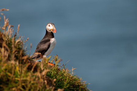 Puffin portrait near the nest in Mykines Faer Far Oer island looking at the norwegian sea