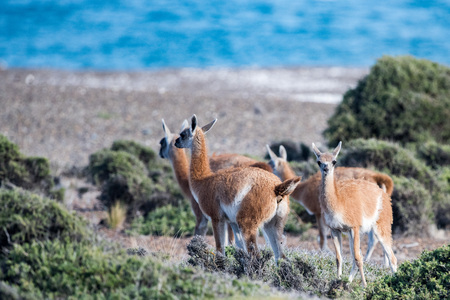 guanaco portrait in Valdes Peninsula Argentina Patagonia Stock Photo