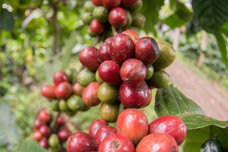 colombian food: Mature coffee seeds on plant ready for hand harvest