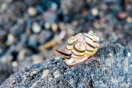 Colorful donut nudibranch close up macro detail while diving Bali indonesia