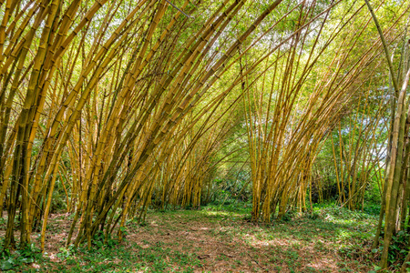 wooden stick: Inside a giant bamboo forest very high plants
