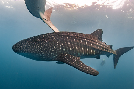big fin: Whale Shark very near looking at you underwater in Papua it does not attack humans Stock Photo