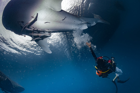 inoffensive: Whale Shark underwater approaching a scuba diver in the deep blue sea seems to attack but it is inoffensive
