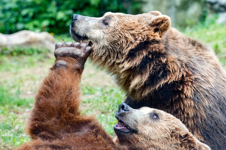 Two black grizzly bears while fighting close up portrait