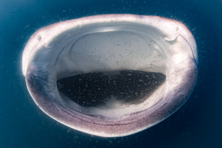 Gentle giant Whale Shark underwater in Mexico while eating plancton Stockfoto