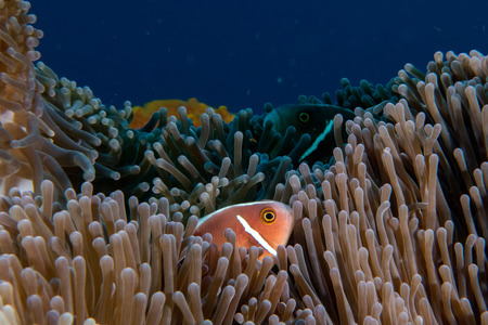 clown fish: Clown fish portait while looking at you from anemone tentacles