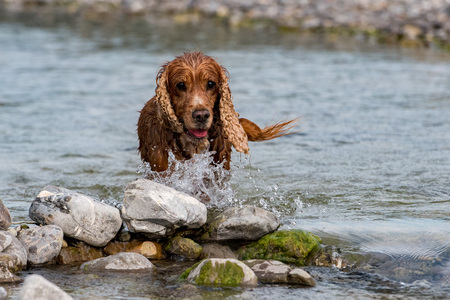 Happy dog english cocker spaniel while playing in the river Stock Photo