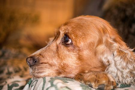 dog nose: dog nose macro close up detail cocker spaniel while relaxing