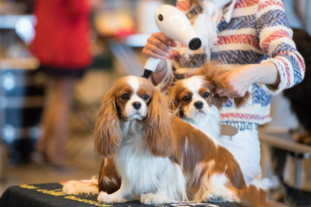 dog while being groomed at international dog show
