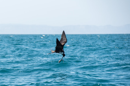 Frigate bird while flying in the sky background and fighting for a fish catch