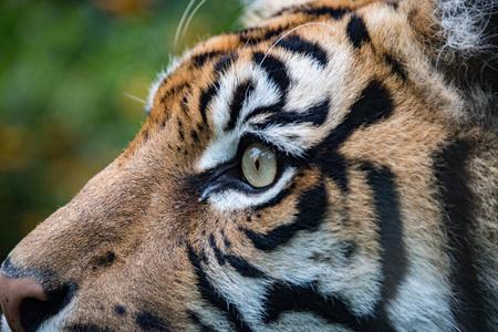 panthera tigris sumatrae: sumatra tiger portrait close up while looking at you on grass background