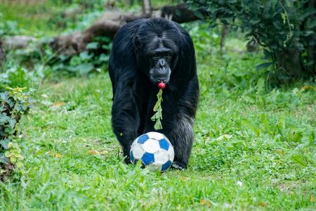 chimpances: Chimpancé mono mientras que viene a usted con balón de fútbol y un rábano rojo en la boca