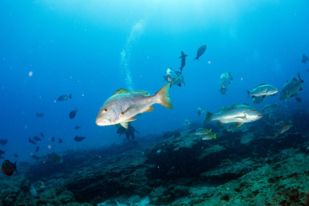 Inside a school of grouper fish close up in the deep blue sea in cabo pulmo mexico national park Reklamní fotografie