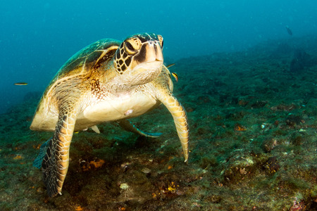 Green turtle coming to you underwater while diving in cabo pulmo baja california national park Stock Photo