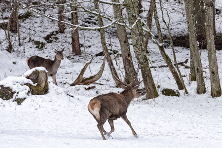 cervus: red deer portrait on snow and forest in winter time Stock Photo