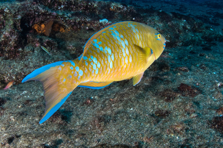 A colorful parrot fish while diving the deep blue sea in cabo pulmo mexico national park Stock Photo