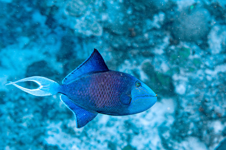 triggerfish: blue trigger fish portrait while diving maldives