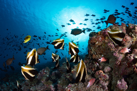 school of butterfly fish looking at you in Maldives Stock Photo