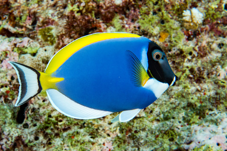 surgeon fish in the blue while diving in maldives