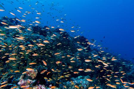 lyretail: red orange anthias while diving maldives on white corals background