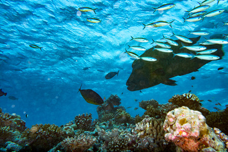 cheilinus undulatus: napoleon fish in the blue reef background while coming to you Stock Photo