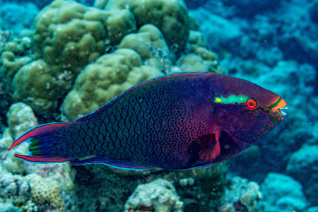 colorful parrot fish in maldives close up