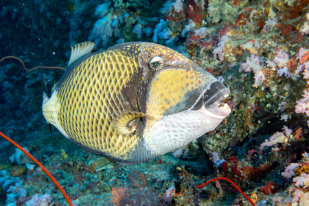 triggerfish: titan triggerfish on soft corals background