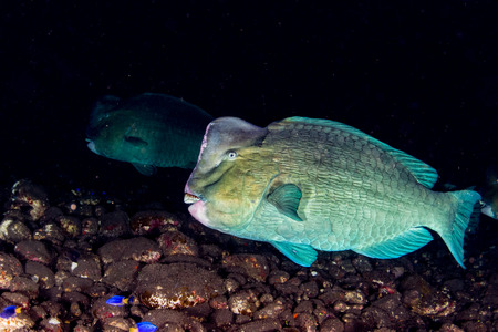 humphead: bump head parrotfish close up portrait underwater detail while diving indonesia