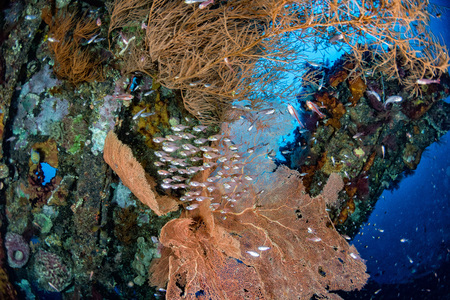 corals growing on Ship Wreck underwater while diving indonesia with school of glass fishes