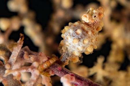 pigmy: Bargibanti Pigmy Seahorse the smallest in the world in indonesia
