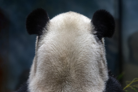 giant panda ears from back view close up portrait Stock Photo