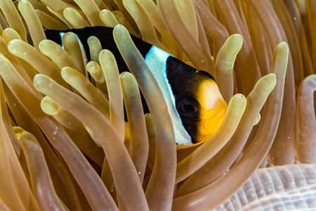 portait: Clown fish portait while looking at you from anemone tentacles