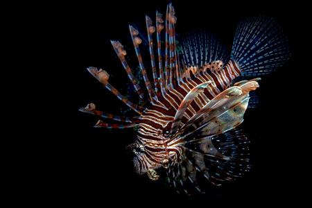 Scorpion Lion fish underwater portrait