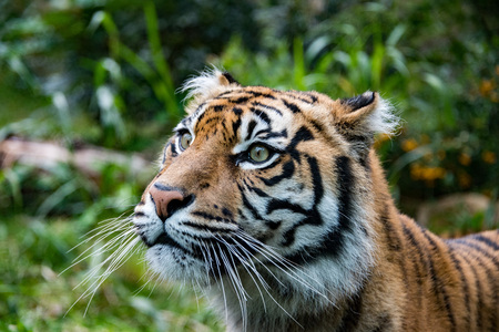 sumatra tiger portrait close up while looking at you on grass background