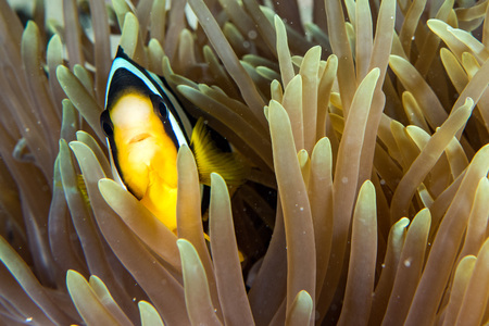 Clown fish portait while looking at you from anemone tentacles
