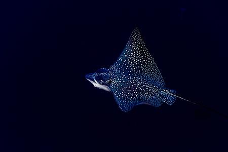 sweetlips: Underwater portrait of eagle ray manta in Maldives