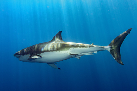 guadalupe island: Great White shark in deep blue ocean background