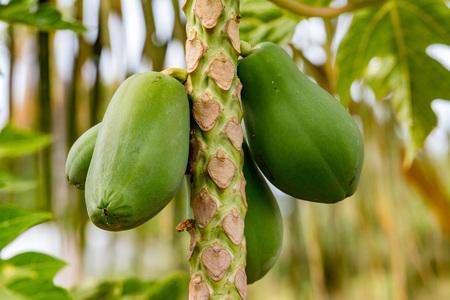 papaya fruit on tree ready for harvest detail Stock Photo