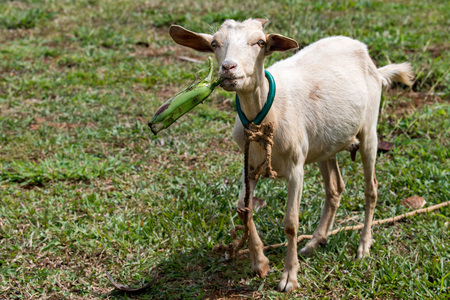 female goat portrait while lholding a banana and ooking at you