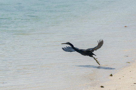 Polynesia heron flying on the pacific sea background
