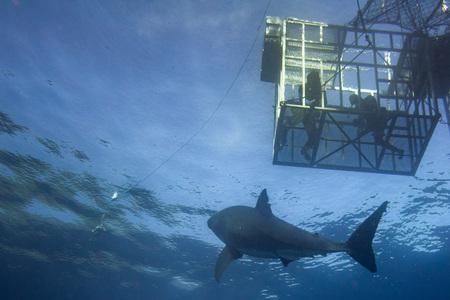 Immersione in gabbia con un grande squalo bianco che viene da te su fondo blu profondo dell'oceano Archivio Fotografico - 86248343