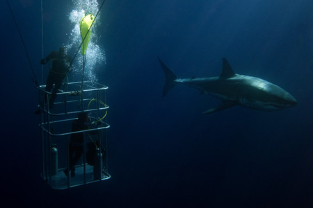 Cage diving with Great White shark coming to you on deep blue ocean background Archivio Fotografico