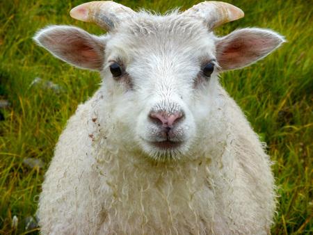 newborn baby white ram sheep under the rain and grass background
